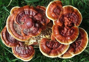 ingredientes de Bio Reishi Defense +