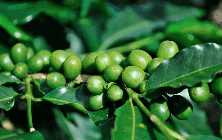 revisión del café verde RXB