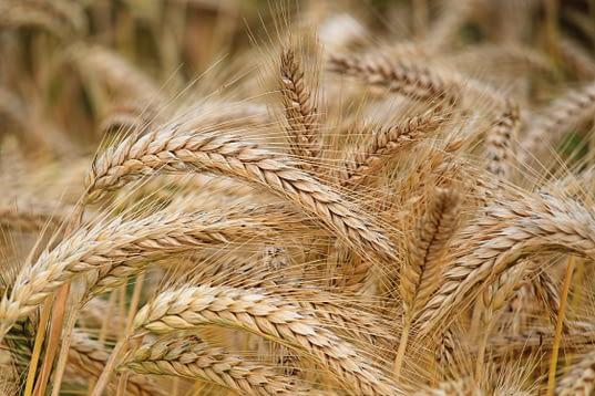 Campo de espigas de trigo: materia prima que se utiliza para fabricar el ácido azelaico