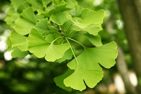 Planta de Ginkgo Biloba