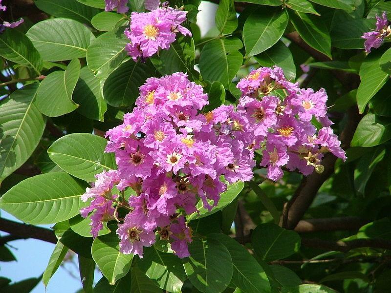 Flor de banaba