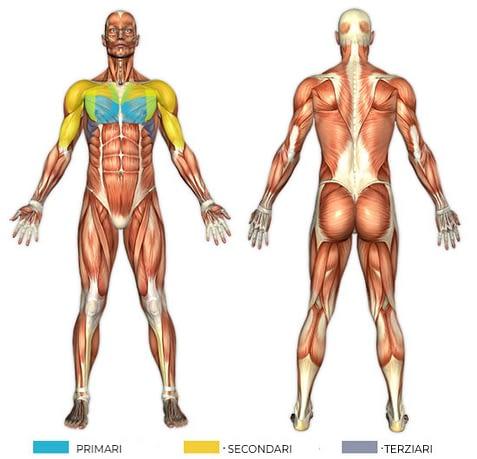 Esquema de los músculos implicados durante los ejercicios de prensa en el banco