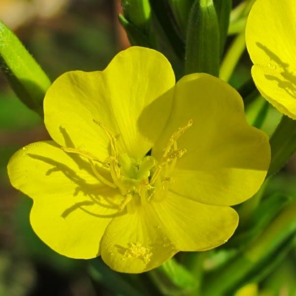 Flor de prímula al atardecer
